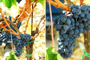 wine_vendemmia_14